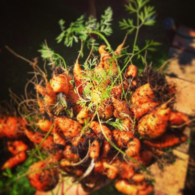 Carrots at home. @chrisjround
